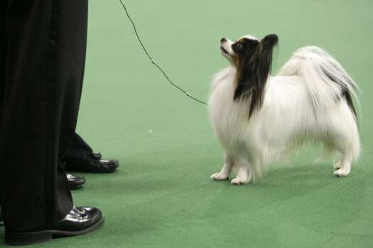 Lafford Fly Me Too Farleysbane, a papillon, looks up at it's handler and the judge during the judging of the toy group at the 136th annual Westminster Kennel Club dog show in New York, Monday, Feb. 13, 2012.  (AP Photo/Seth Wenig) (AP)
