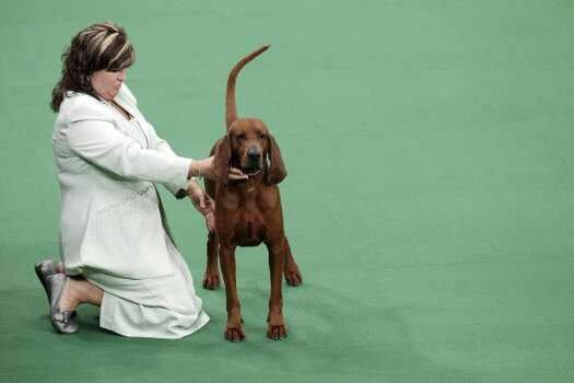 A redbone coonhound is judged as part of the hound group at the 136th annual Westminster Kennel Club dog show in New York, Monday, Feb. 13, 2012. (AP Photo/Seth Wenig) (AP)