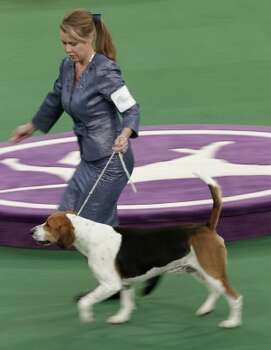 A harrier named Downhome Hitech Innovator runs during the hound judging at the 136th annual Westminster Kennel Club dog show in New York, Monday, Feb. 13, 2012.  (AP Photo/Seth Wenig) (AP)