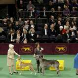 Dogs compete at the 136th annual Westminster Kennel Club dog show in New York, Monday, Feb. 13, 2012.  (AP Photo/Seth Wenig) (AP)