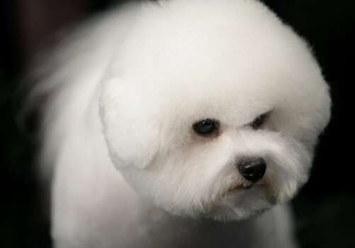 Phil, a Bichons Frises, waits for competition at the136th annual Westminster Kennel Club dog show, Monday, Feb. 13, 2012, in New York. (AP Photo/Craig Ruttle) (AP)