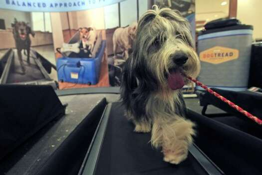 Elvis, a 4-year-old Bearded Collie works out on a dog tread in the Green Room Salon and Spa at the Pennsylvania hotel, Saturday, Feb. 11, 2012 in New York.  There are 2,000 top dogs in town for Monday's start of the 136th Annual Westminster Kennel club show. (AP Photo/Mary Altaffer) (AP)