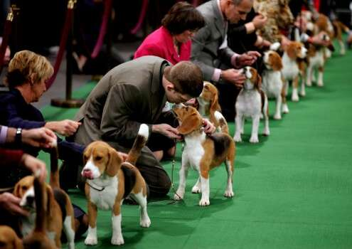 Keith Paladino of Lodi, N.J., second from left, works with a 15 inch Beagle as they line up in the ring for competition at the 136th annual Westminster Kennel Club dog show, Monday, Feb. 13, 2012, in New York. (AP Photo/Craig Ruttle) (AP)