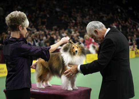 A shetland sheepdog named Mystic Ava Gardner is examined during the judging of the herding group at the 136th annual Westminster Kennel Club dog show in New York, Monday, Feb. 13, 2012.  (AP Photo/Seth Wenig) (AP)