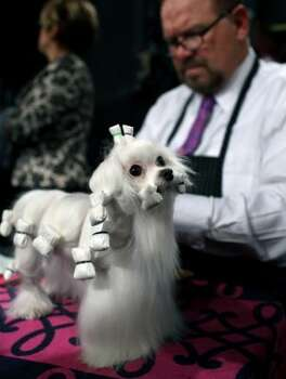 Dottie, a maltese owned by Beverly Quilliam and Wayne Baker of West Chester, Pa., is groomed by Luke Ehricht of Toledo, Ohio at the 136th annual Westminster Kennel Club dog show, Monday, Feb. 13, 2012, in New York. (AP Photo/Craig Ruttle) (AP)