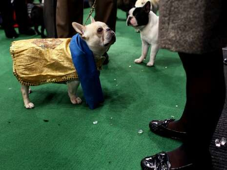 Champy, a French bulldog, looks up to handler Heather Bremmer of Blandon, Pa. as they get ready to enter the ring at 136th annual Westminster Kennel Club dog show, Monday, Feb. 13, 2012, in New York. (AP Photo/Craig Ruttle) (AP)