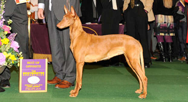Elodie, was awarded Best in Opposite Sex for the Pharaoh Hound breed competition at The Westminster Kennel Club?s dog show in Madison Square Garden. The award-winning dog is owned by Stephen Sipperly and Dominic Carota of Selkirk, and Linda Witt and Nancy Sowerbutts helped breed it. They also took Best in Show for Pharaoh Hound with Elodie's half-brother, Ethan. (Westminster Kennel Club) / JOHN ASHBEY