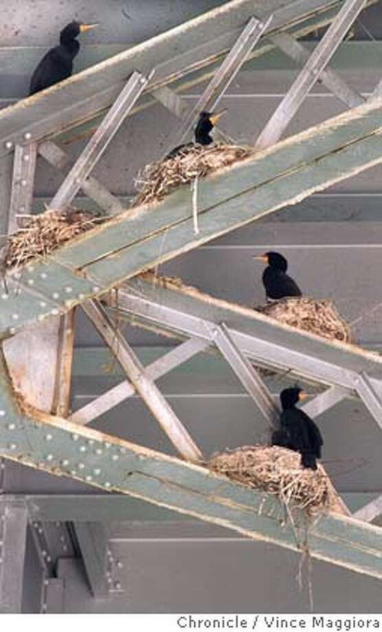 BRIDGE/C/07MAR97/CD/VM = Cormorants nesting on the steel girders under the bay bridge .by Vince Maggiora CAT Ran on: 03-13-2005  Cormorants sit in their nests on the steel girders under the eastern span of the Bay Bridge in 1997. Photo: VINCE MAGGIORA