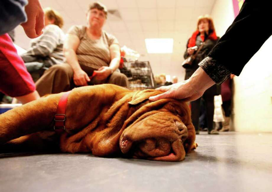 Dozier, from Columbus, Ga., a 4-year-old dogue de Bordeaux, also known as a French mastiff, rests in the benching area during the 136th annual Westminster Kennel Club dog show. Photo: Jason DeCrow, Associated Press / FR103966 AP