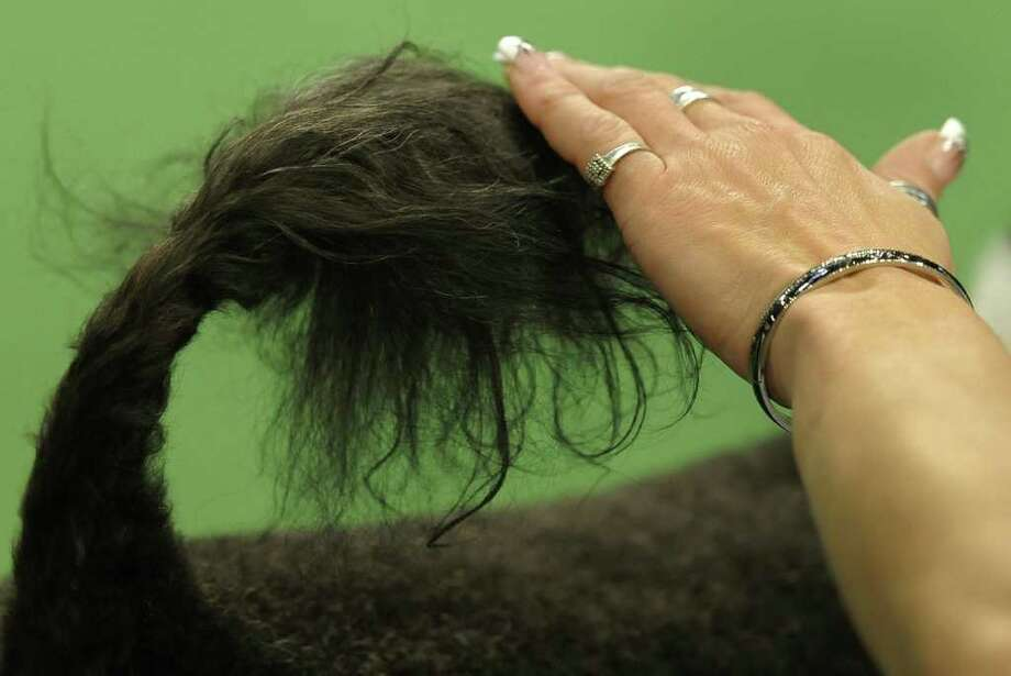 A handler holds down the tail of a Portuguese water Dog in the judging ring during the 136th Westminster Kennel Club  Annual Dog Show held at Madison Square Garden. Photo: TIMOTHY A. CLARY, AFP/Getty Images / AFP