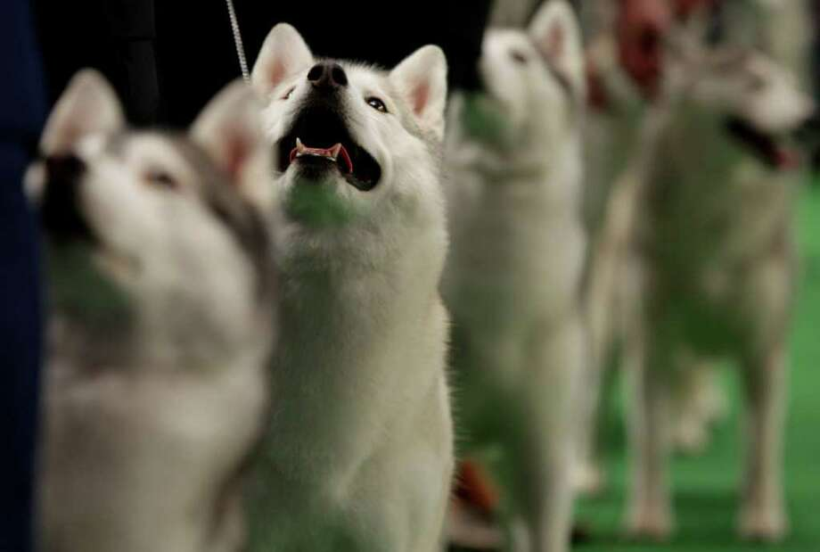 Winnie, a Siberian husky, second from left, competes at the 136th annual Westminster Kennel Club dog show. Photo: Craig Ruttle, Associated Press / FR61802 AP