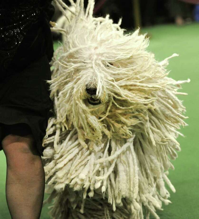 A Komondorok in the judging ring during the 136th Westminster Kennel Club Annual Dog Show held at Madison Square Garden. Photo: TIMOTHY A. CLARY, AFP/Getty Images / AFP