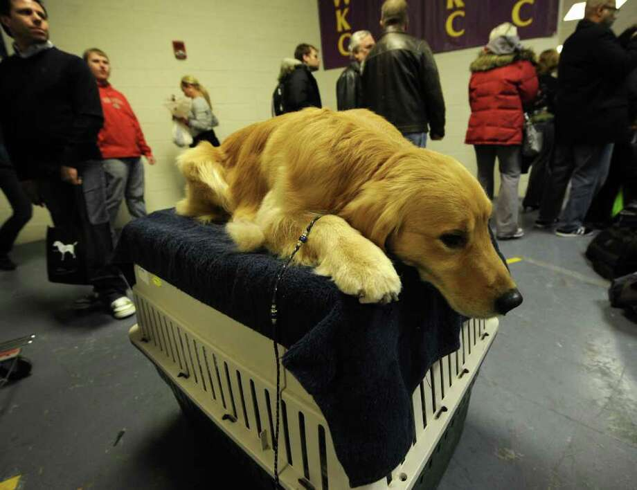 Henry , a Golden Retriever, in the backstage area during the 136th Westminster Kennel Club Annual Dog Show held at Madison Square Garden. Photo: TIMOTHY A. CLARY, AFP/Getty Images / AFP
