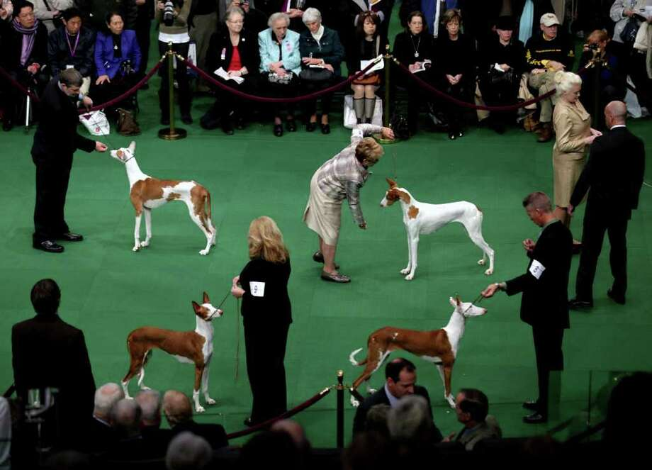 Ibizan Hounds are shown the ring at the 136th annual Westminster Kennel Club dog show. Photo: Craig Ruttle, Associated Press / AP2012