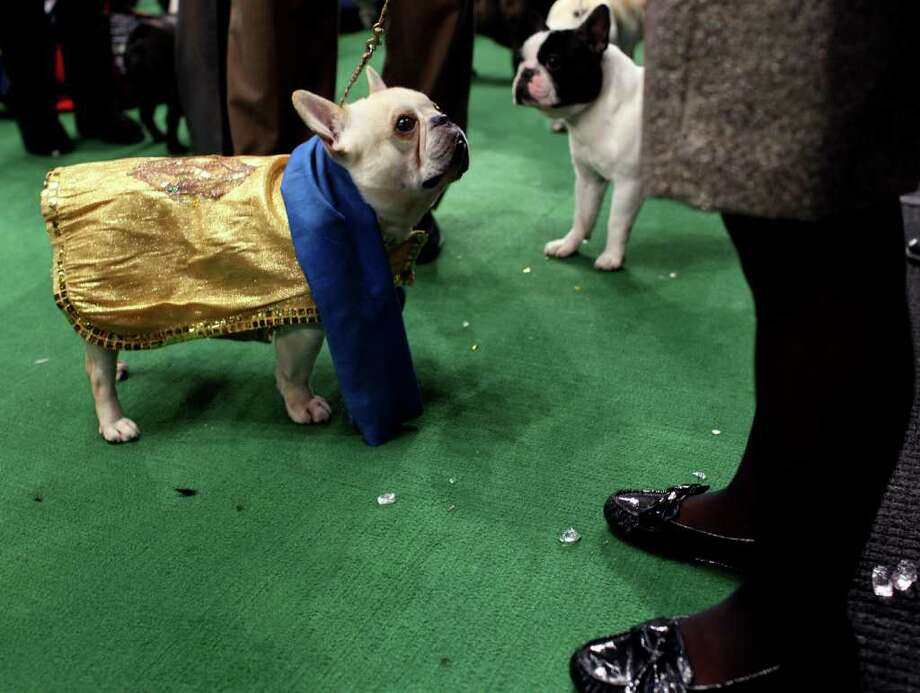 Champy, a French bulldog, looks up to handler Heather Bremmer of Blandon, Pa. as they get ready to enter the ring at 136th annual Westminster Kennel Club dog show. Photo: Craig Ruttle, Associated Press / FR61802 AP