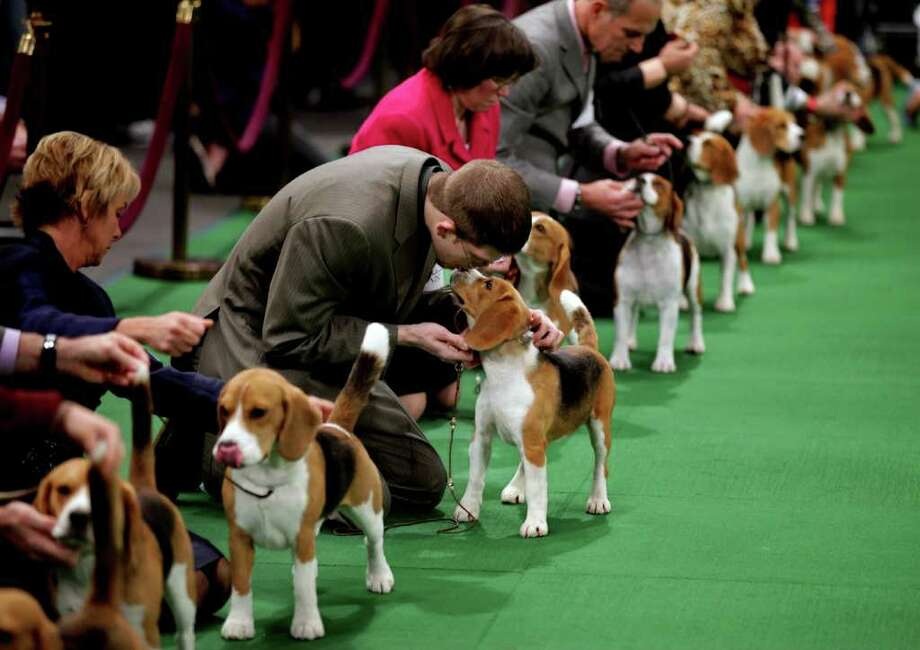 Keith Paladino of Lodi, N.J., second from left, works with a 15 inch Beagle as they line up in the ring for competition at the 136th annual Westminster Kennel Club dog show. Photo: Craig Ruttle, Associated Press / FR61802 AP