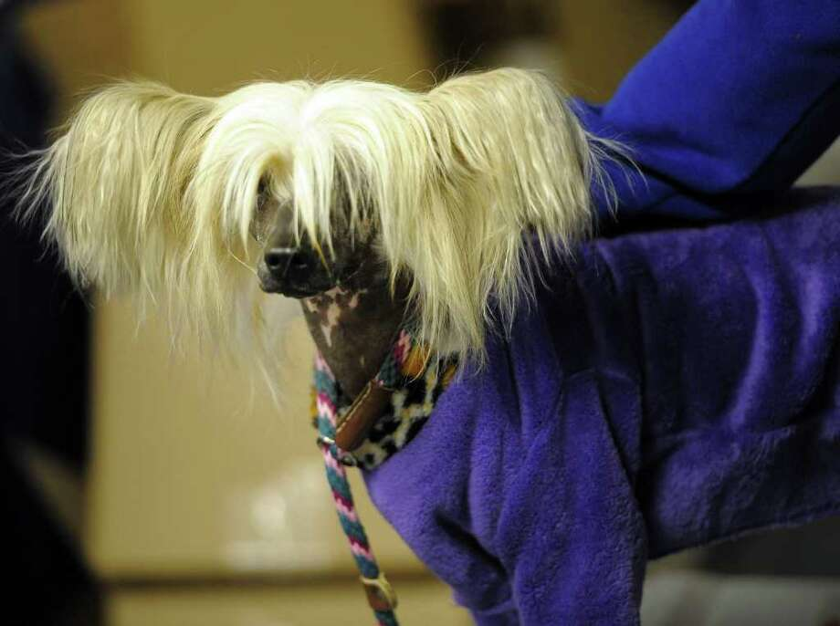 Clara, a Chinese Crested  in the staging area during the 136th Westminster Kennel Club  Annual Dog Show held at Madison Square Garden. Photo: TIMOTHY A. CLARY, AFP/Getty Images / AFP