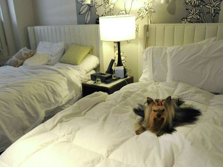 Stewart, the Yorkshire terrier in his room at the Affinia Manhattan Hotel February 12, 2012 in New York as dogs arrive in the city for the  Westminster Kennel Club 136th Annual Dog Show to be held at Madison Square Garden. Photo: TIMOTHY A. CLARY, AFP/Getty Images / AFP