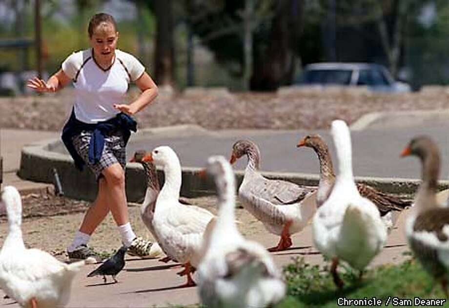 Richelle Wilkins, 12, of Clayton is frazzled by hungry wild geese at Heather Farms Park in Walnut Creek Wednesday as she side steps her way through the maze of birds. Wilkins said the experience was kind of scary as she thought the geese were ganging up on her. Wilkins and her twin sister Britney visited the park to enjoy the sunshine and feed the birds. (Chronicle Photo by Sam Deaner) Photo: SAM DEANER