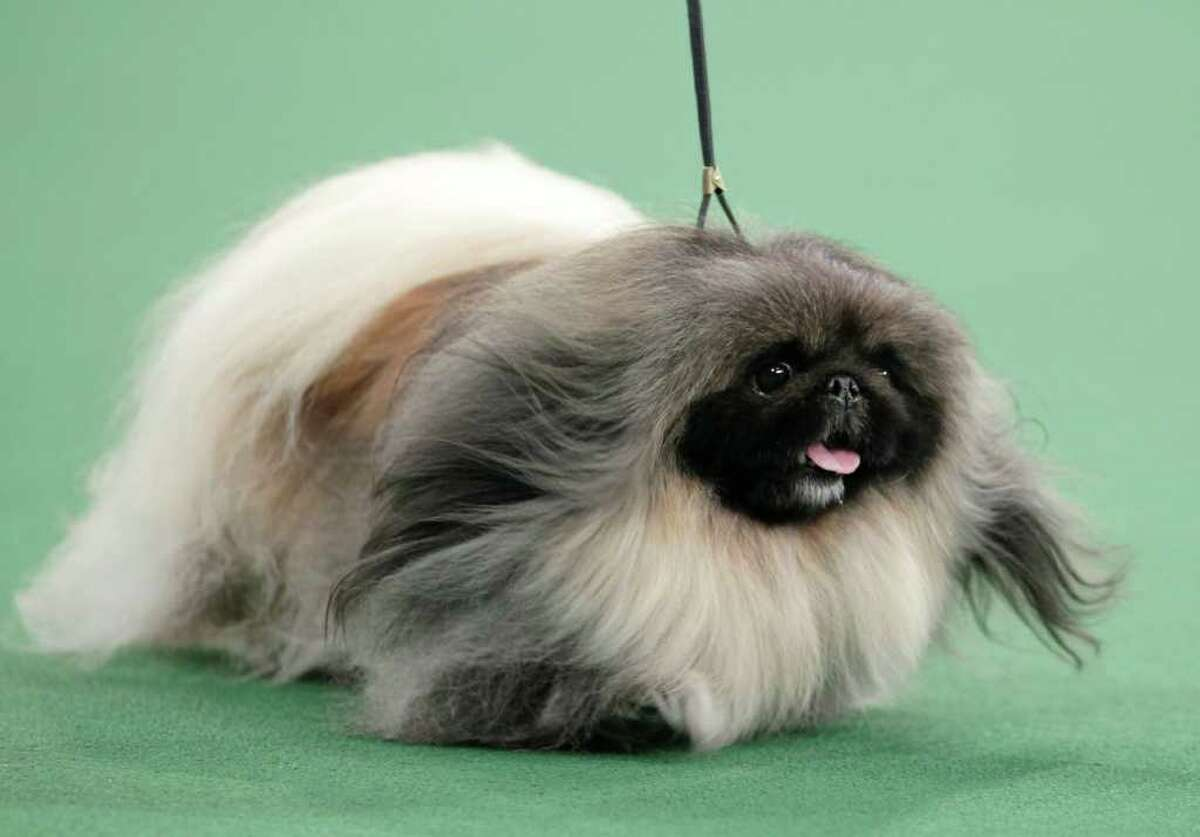Malachy, a Pekingese, competes for best in show at the 136th annual Westminster Kennel Club dog show in New York, Tuesday, Feb. 14, 2012. Malachy went on to win the award. (AP Photo/Seth Wenig)