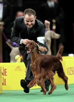 Adam Bernardin reacts as Shadagee Caught Red Handed, an Irish setter, is declared the Best of Sporting Group at the 136th annual Westminster Kennel Club dog show in New York, Tuesday, Feb. 14, 2012.  (AP Photo/Seth Wenig) Photo: Seth Wenig