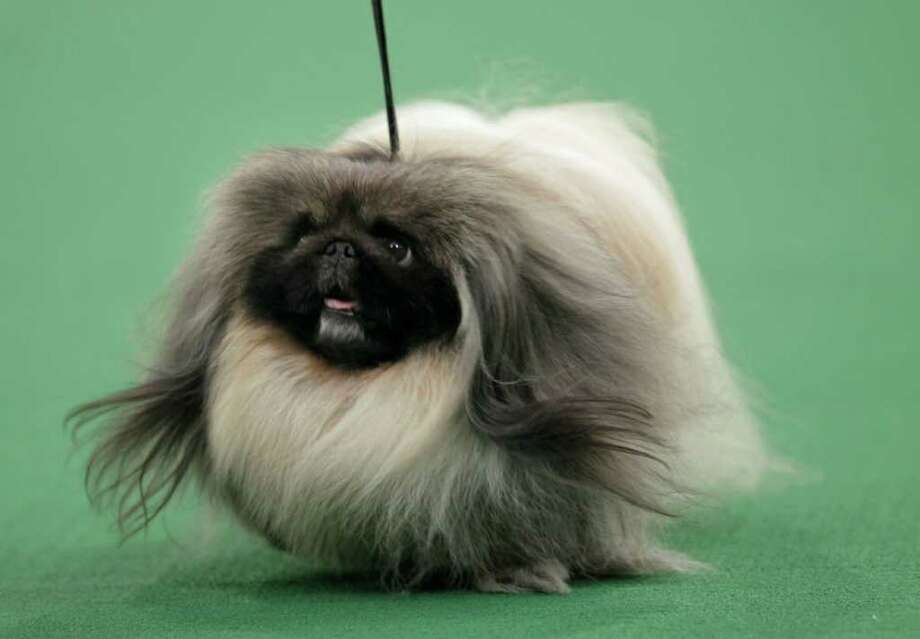 A Pekingese named Malachy, who topped the toy group, was named best in show at Westminster Kennel Club dog show in New York on Tuesday night.Monday, Feb. 13, 2012. Malachy went on to win the group. (AP Photo/Seth Wenig) Photo: Seth Wenig