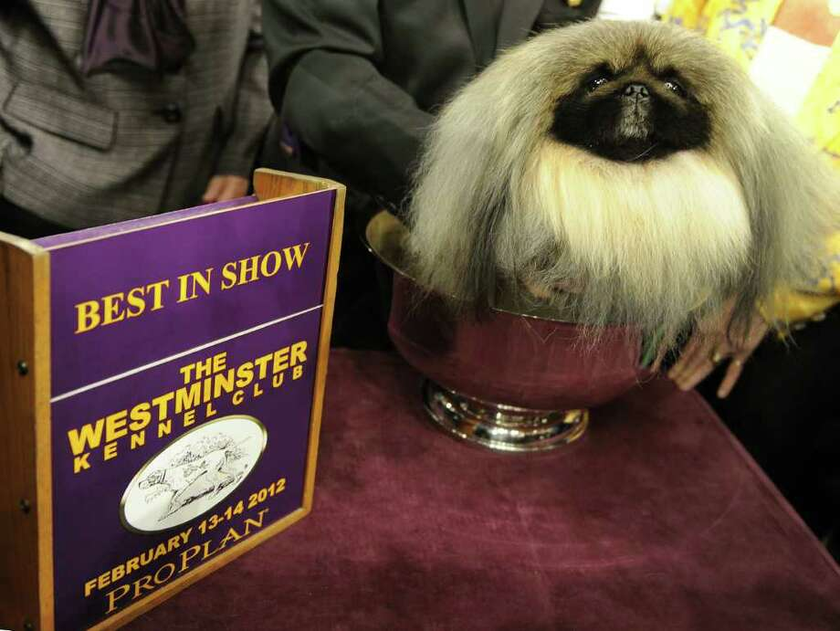 Malachy, a Pekingese, after winning Best in Show  during the 136th Westminster Kennel Club Annual Dog Show held at Madison Square Garden February 14, 2012. Photo: TIMOTHY A. CLARY, AFP/Getty Images / AFP