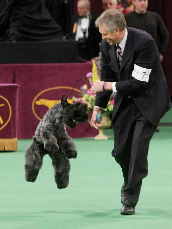 Chelsey, a Kerry blue terrier, jumps after being named winner the terrier group during the 136th annual Westminster Kennel Club dog show, Tuesday, Feb. 14, 2012, in New York. Photo: Jason DeCrow, Associated Press / FR103966 AP