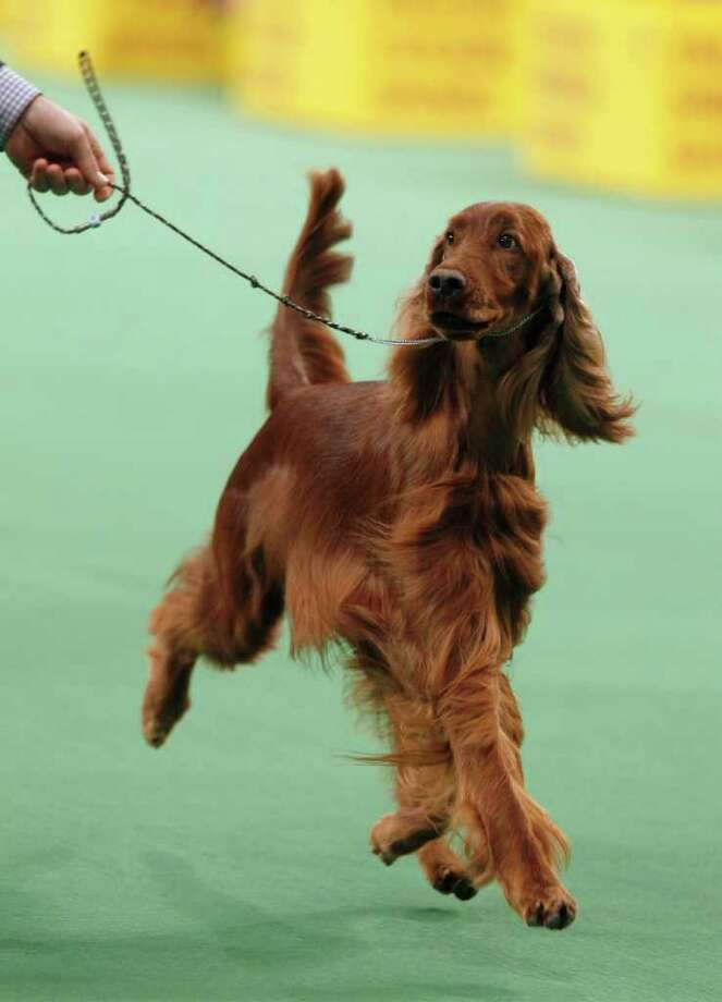 Shadagee Caught Red Handed, an Irish setter, competes in the sporting group finals, which she later won, during the 136th annual Westminster Kennel Club dog show, Tuesday, Feb. 14, 2012, in New York. Photo: Jason DeCrow, Associated Press / FR103966 AP