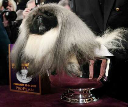 Malachy, a Pekingese, sits in the trophy after being named best in show at the 136th annual Westminster Kennel Club dog show in New York, Tuesday, Feb. 14, 2012. Photo: Seth Wenig
