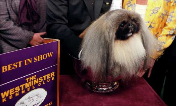 Malachy, a Pekingese, sits in the trophy after being named best in show during the 136th annual Westminster Kennel Club dog show, Tuesday, Feb. 14, 2012, in New York. Photo: Jason DeCrow
