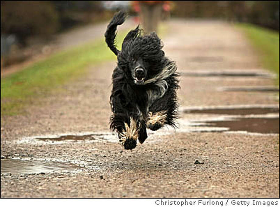 TELFORD, ENGLAND - MARCH 03: Kix, a Portuguese Water Dog , enjoys a walk around the muddy fields near his home before the grooming and preparation starts for this years Crufts on March 3, 2009 in Telford, England. Kix has previously won his class at Crufts amongst other dog show prizes. Kix whose Kennel Club name is ' Biley's Ranon Lyran Big Bang At Rysalka' is hoping to win a bigger prize this year for his owner Sue Tweedie when the world's biggest dog show starts on Thursday. The popularity of Portuguese Water Dogs has soared since speculation that US President Barack Obama may get one of the dogs for his children to fulfil his election night promise that they will get a puppy. (Photo by Christopher Furlong/Getty Images) Photo: Christopher Furlong