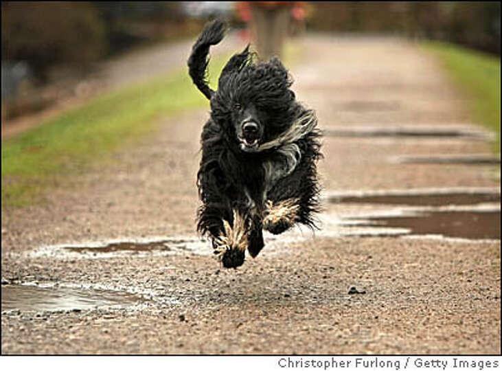 TELFORD, ENGLAND - MARCH 03: Kix, a Portuguese Water Dog , enjoys a walk around the muddy fields nea