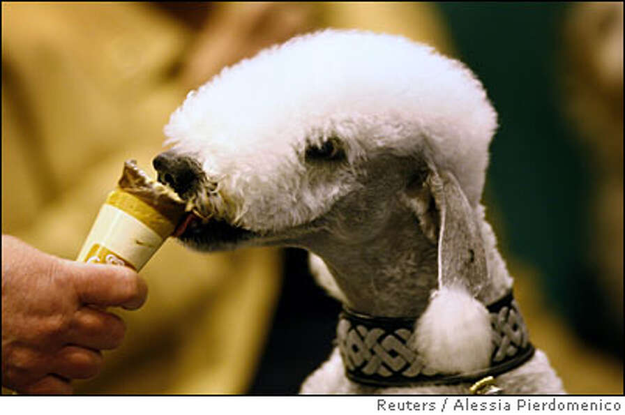 A Bedlington Terrier licks an ice-cream at the Crufts dog show in Birmingham, central England March