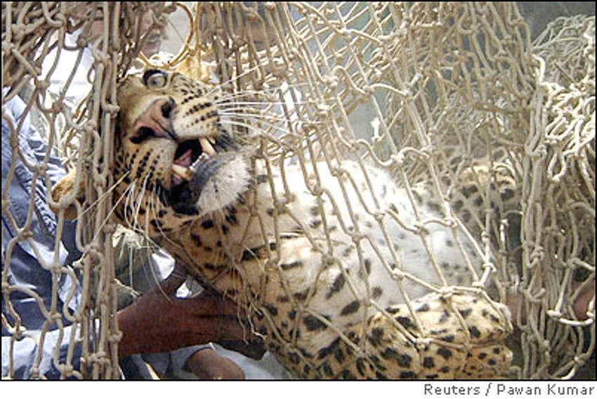Leopard is carried in a net by Zoo officials near Kamlapur