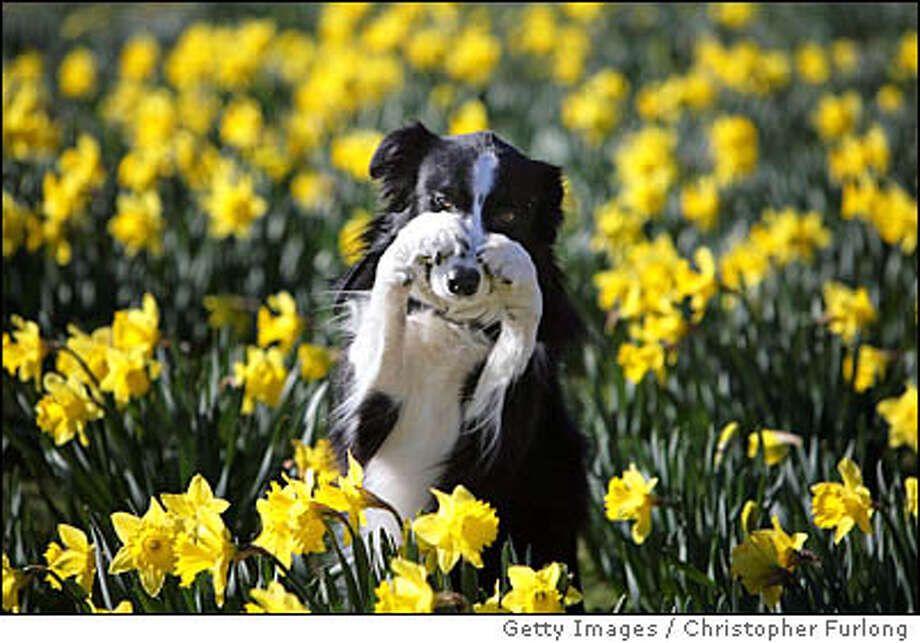 "BIRMINGHAM, UNITED KINGDOM - MARCH 04: Working Sheep Dog, severn-year-old Twig, performs tricks for photographers amongst the Spring daffodils during a photocall to launch Crufts 2008 at the National Exhibition Centre on March 4, 2008, in Birmingham, England. During this year's four-day competition 23,000 dogs and their owners will vie for a variety of accolades but ultimately seeeking the coveted ""Best In Show"". (Photo by Christopher Furlong/Getty Images) Photo: Christopher Furlong"