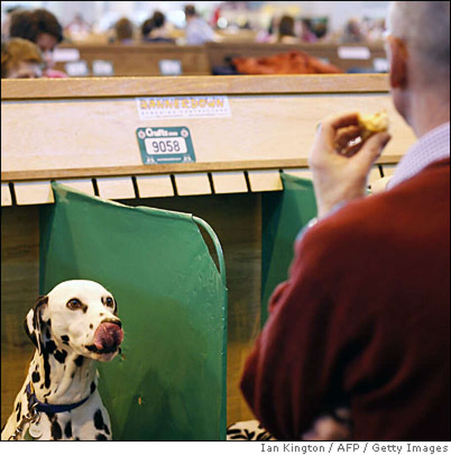 A dalmatian dog (L) watches as its handler eats during the Crufts Dog Show in Birmingham in central England, on March 6, 2009. AFP PHOTO/IAN KINGTON (Photo credit should read IAN KINGTON/AFP/Getty Images) Photo: IAN KINGTON