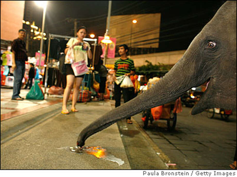 Urban Elephants Roam The Streets of Bangkok Photo: Paula Bronstein