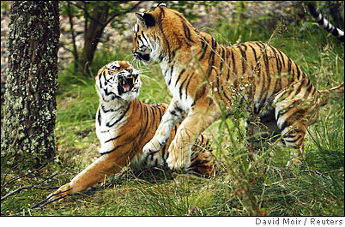 Amur tigers Sasha and Yuri fight over food in their new enclosure at The Highland Wildlife Park in Kingussie, near Aviemore in Scotland