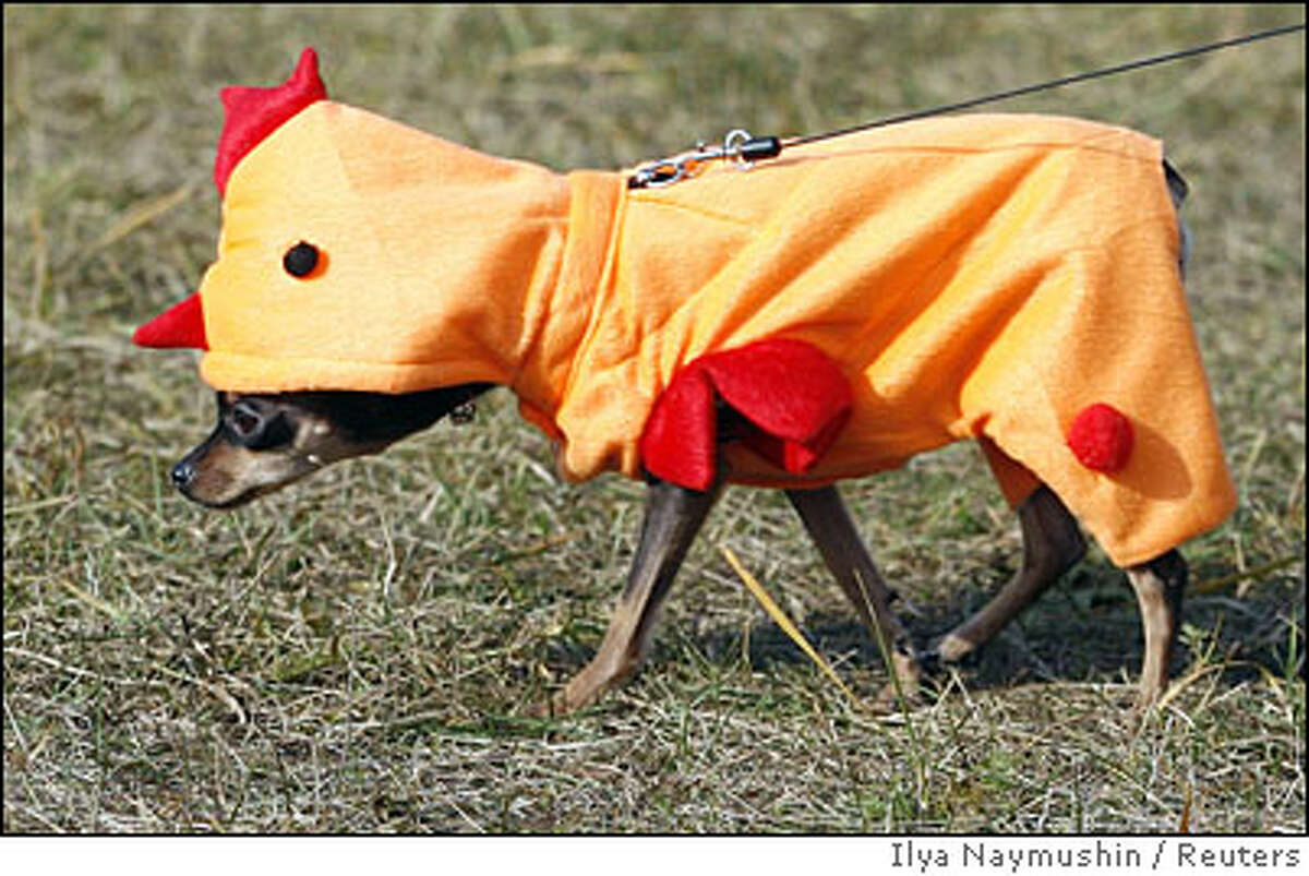 A toy-terrier is seen in a park during Animal Friends Festival in Russia's Siberian city of Krasnoyarsk