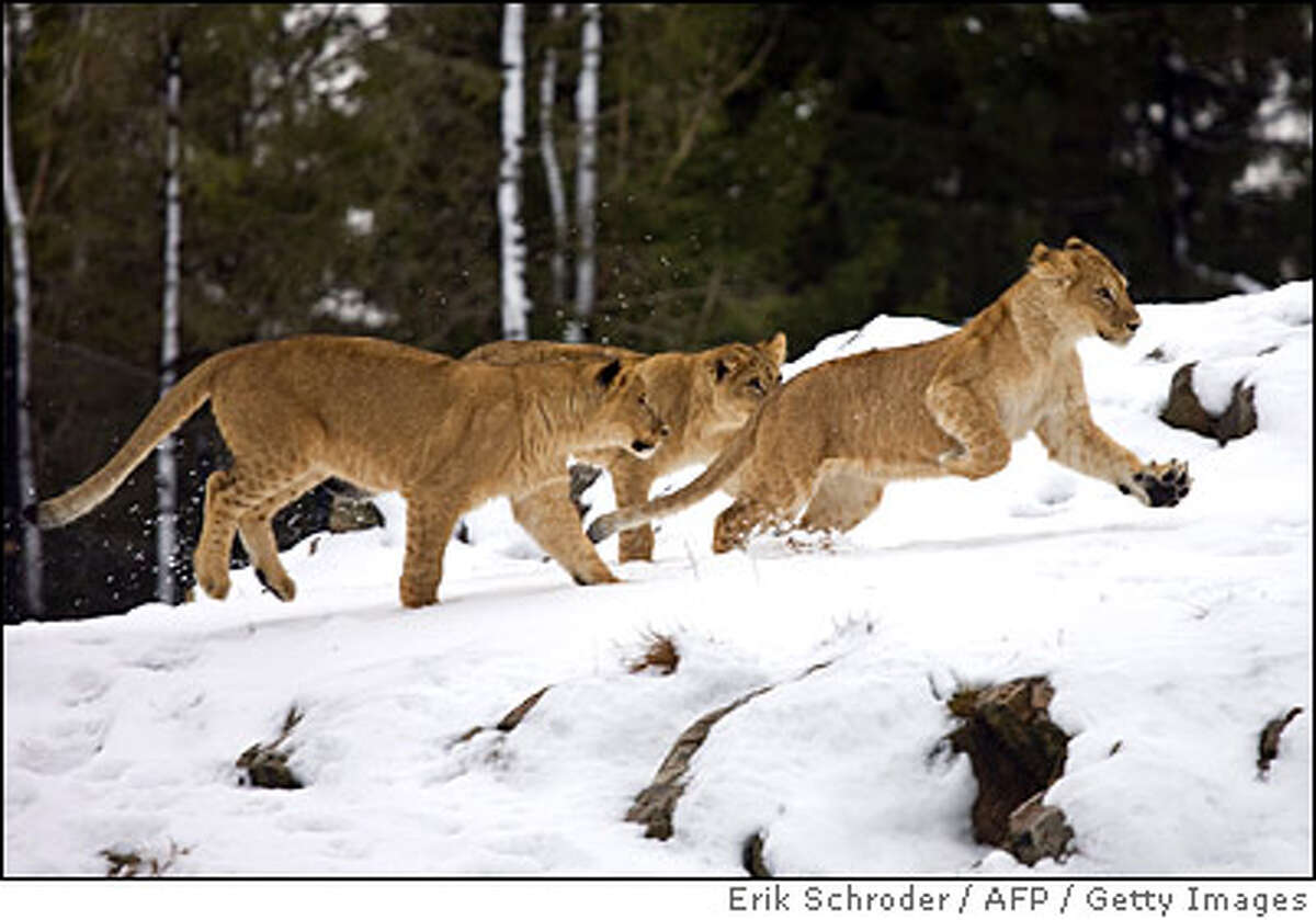 NORWAY-ANIMALS-LIONS-ZOO-FEATURE