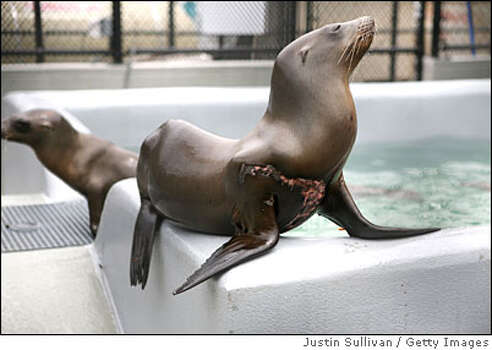 SAUSALITO, CA - JUNE 15: A sea lion recovering from a shark bite rests on the edge of a pool at the Marine Mammal Center June 15, 2009 in Sausalito, California. Scientists are baffled by a recent spike in malnourished sea lions found along the Northern California coast. The Marine Mammal Center, a non-profit marine mammal rescue and education organization, is seeing twice as many weak and malnourished Sea Lions which some think may be due to declining fish populations in the ocean. (Photo by Justin Sullivan/Getty Images) Photo: Justin Sullivan