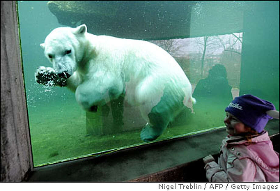 GERMANY-ANIMALS-POLAR-BEAR-WILBAER Photo: NIGEL TREBLIN
