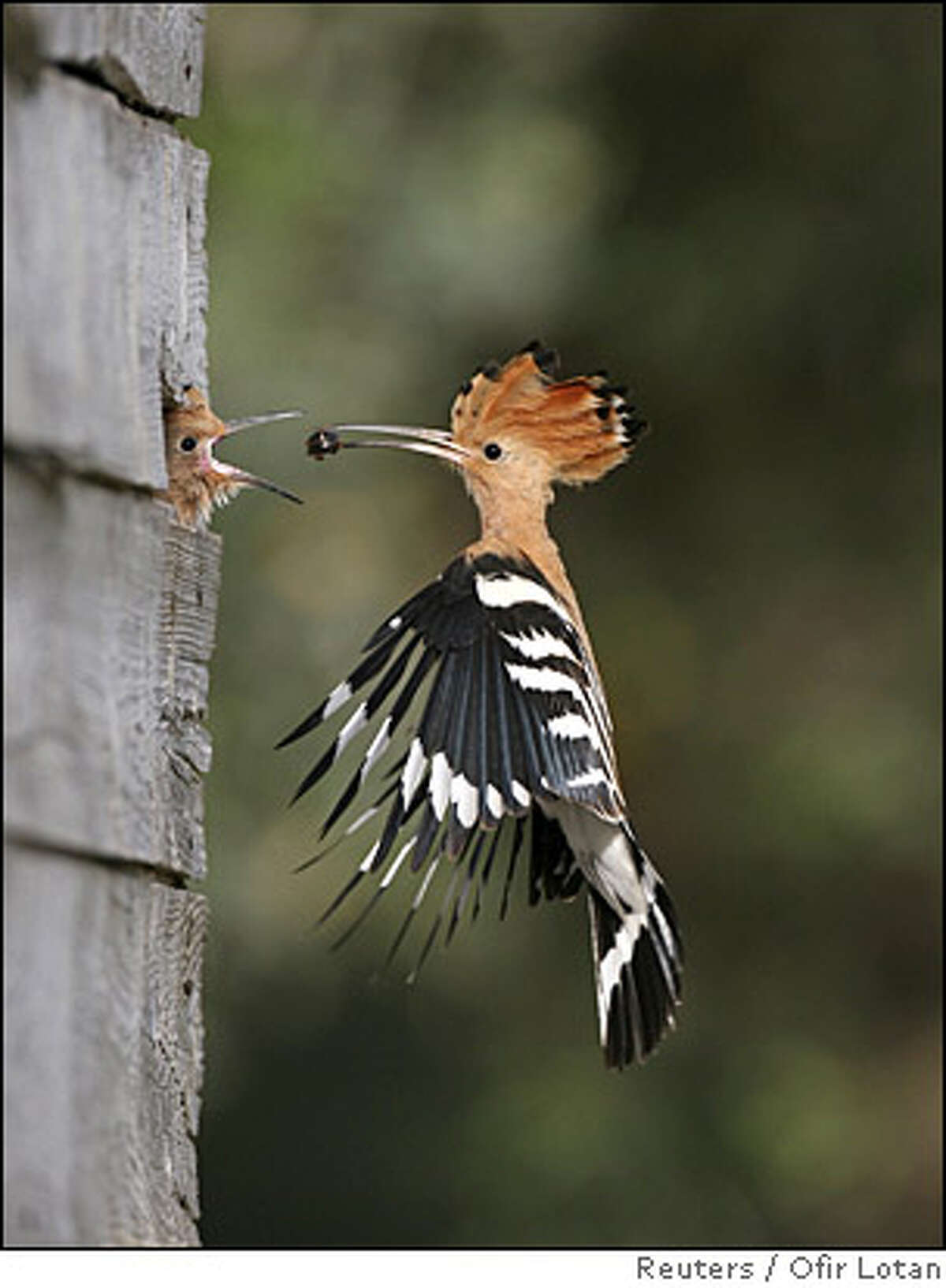 Hoopoe bird feeds its nestling in undated handout picture