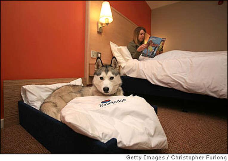 BIRMINGHAM, UNITED KINGDOM - MARCH 06: Siberian Husky Saskia relaxes in her own 'Kingsize' hotel bed
