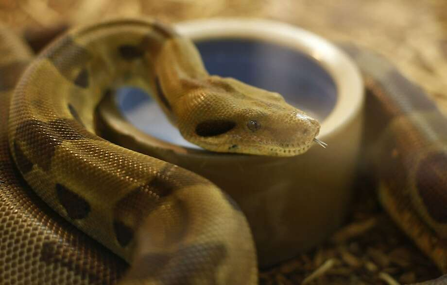 The East Bay Vivarium is home to this Hypomelanistic Boa Constrictor along with many other reptiles.  The Berkeley shoreline has many activities to participate in such as dog walking, bird watching, and biking. Photo: Sean Culligan, The Chronicle