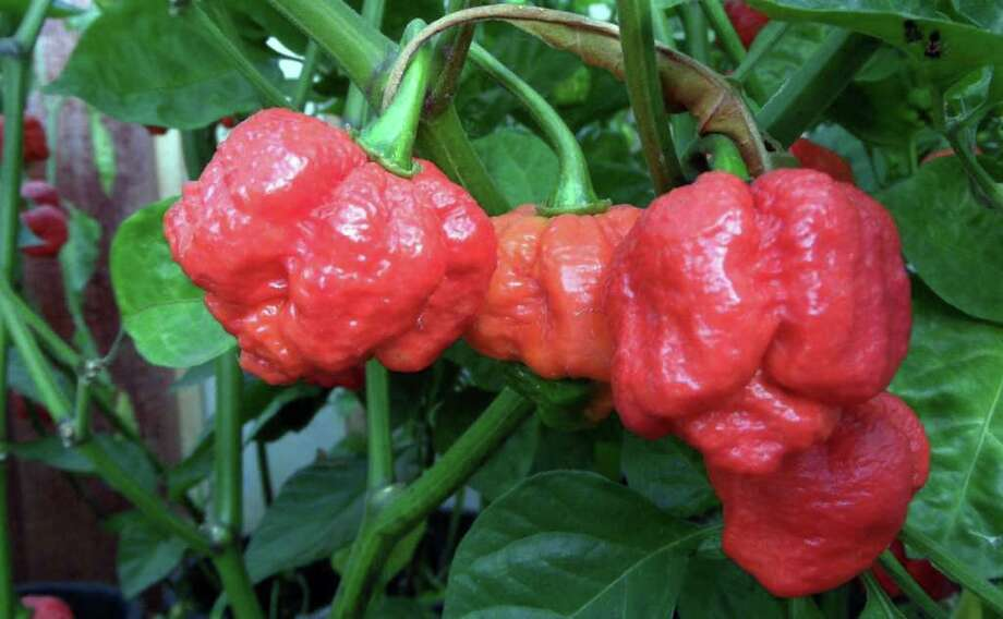 """The Trinidad Moruga Scorpion """"is quite nasty,"""" chile experts say. Photo: Jim Duffy / COPYRIGHT, 2009"""