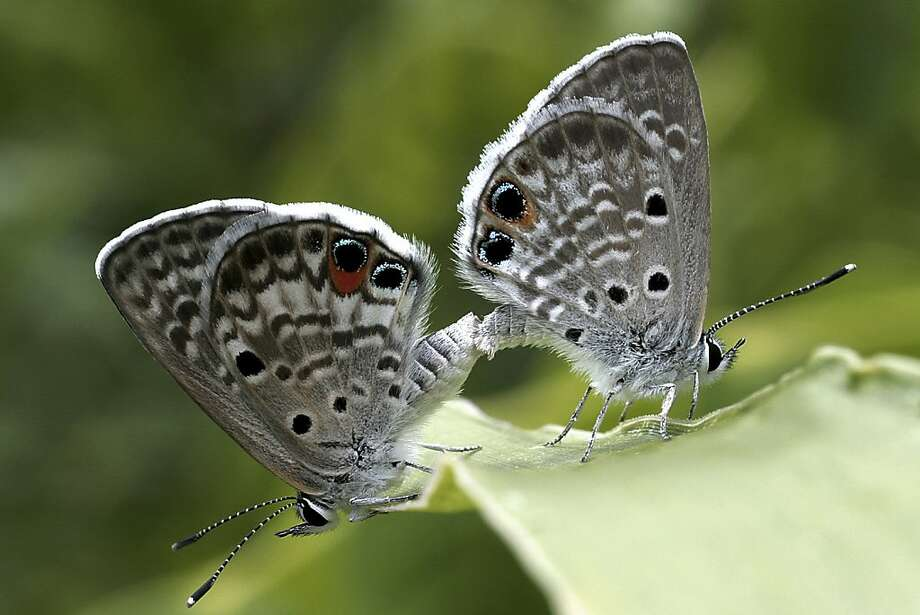 In this undated photo, two Miami blue butterfly are shown at Bahia Honda State Park in the Florida Keys. No confirmed Miami blues have been seen on Bahia Honda since July 2010. The U.S. Fish and Wildlife Service last August issued an emergency listing of the Miami blue as an endangered species. Photo: Paula Cannon, Associated Press