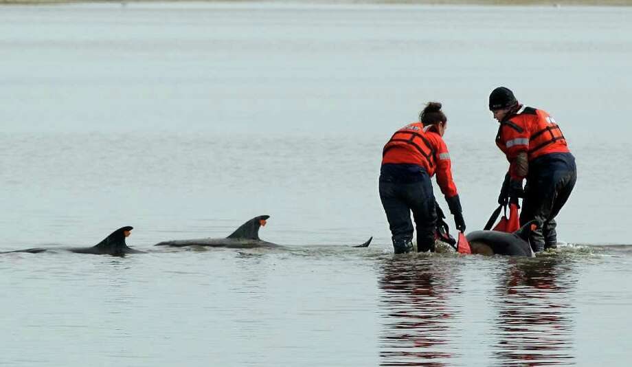 Using a sling Linda D'eri, left, and Misty Niemeyer, members of an International Fund for Animal Welfare rescue team, carry one of 11 dolphins stranded ion a mud flat during low tide in Wellfleet, Mass., Tuesday, Feb. 14, 2012. Ten of the dolphins were saved and one perished during the event. There have been 177 dolphins stranded in the area since Jan. 12, 2012 and 53 have been successfully released. (AP Photo/Stephan Savoia) Photo: Stephan Savoia / AP