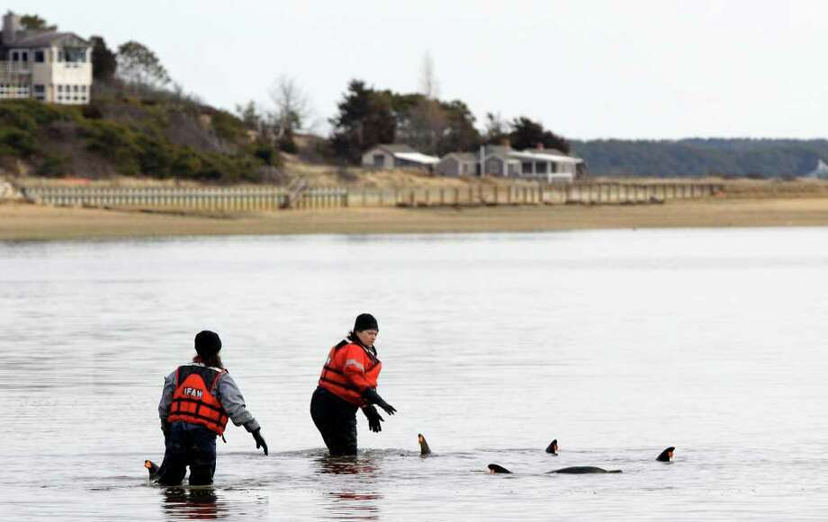 Holly Kuhn, left, and Misty Niemeyer attempt to heard a portion of a pod of 11 dolphins stranded on a mud flat during low tide back out to deeper water in Wellfleet, Mass., Tuesday, Feb. 14, 2012. Ten of the dolphins were saved and one perished during the event. There have been 177 dolphins stranded in the area since Jan. 12, 2012 and 53 have been successfully released. (AP Photo/Stephan Savoia) Photo: Stephan Savoia / AP